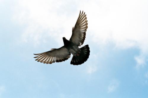 dove-pigeon-nikon-401891-l